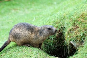 Como una marmota
