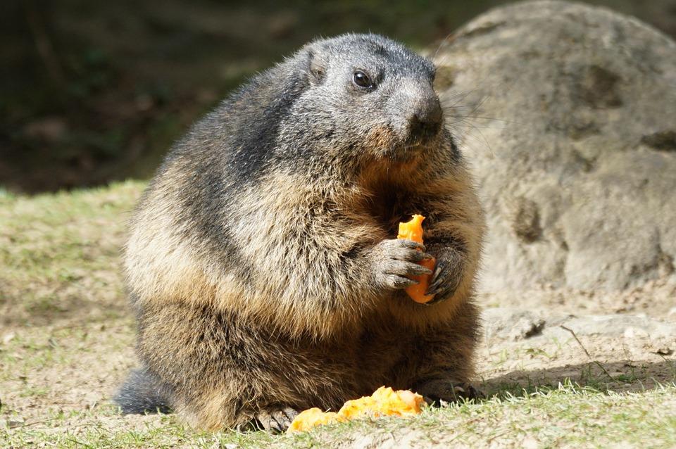 Marmota comiendo para hibernar - La Tienda Home